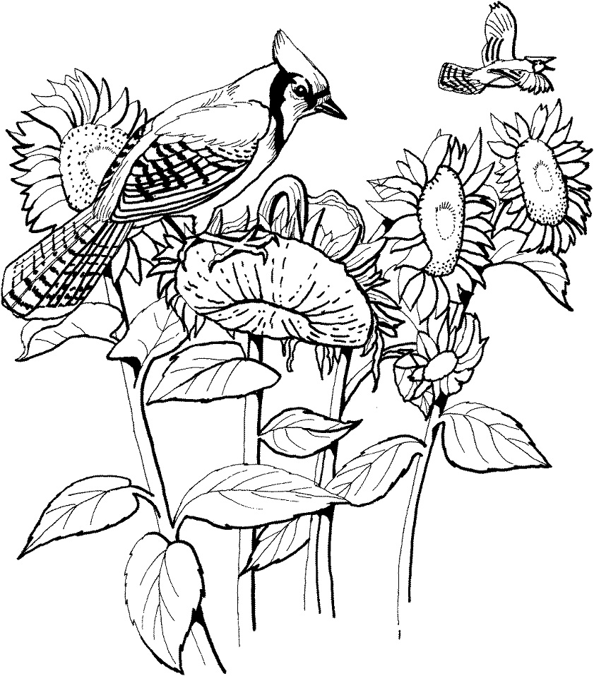 Blue Jay and Sunflowers
