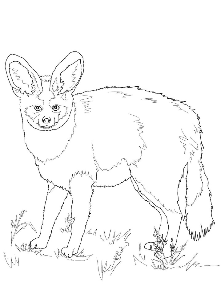 Bat Eared Fox