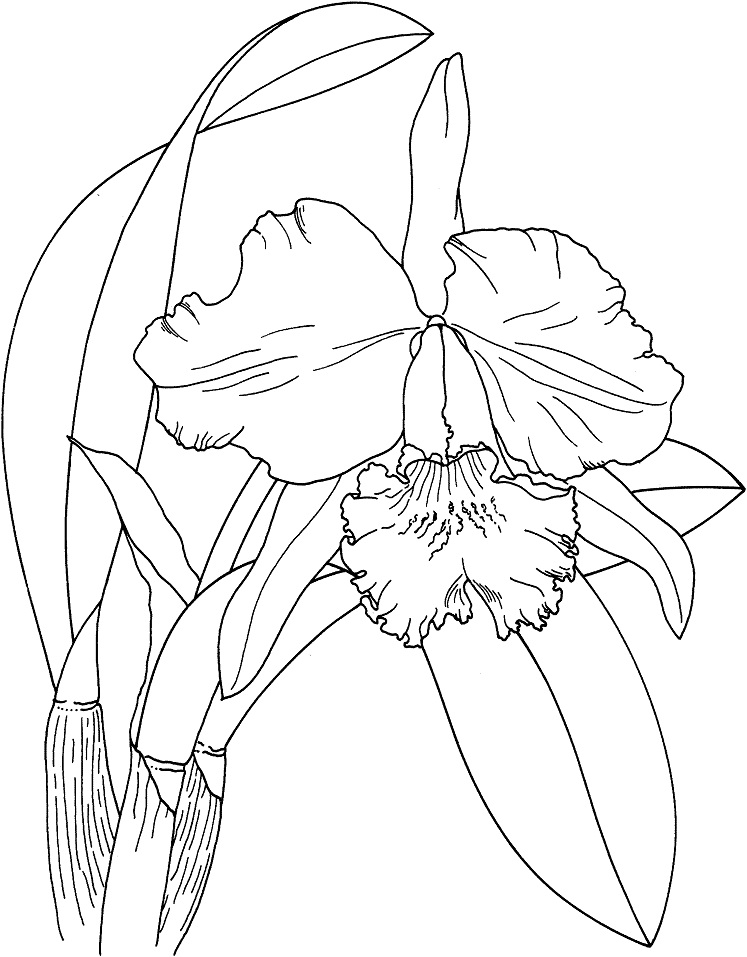 Cattleya Easter Orchid