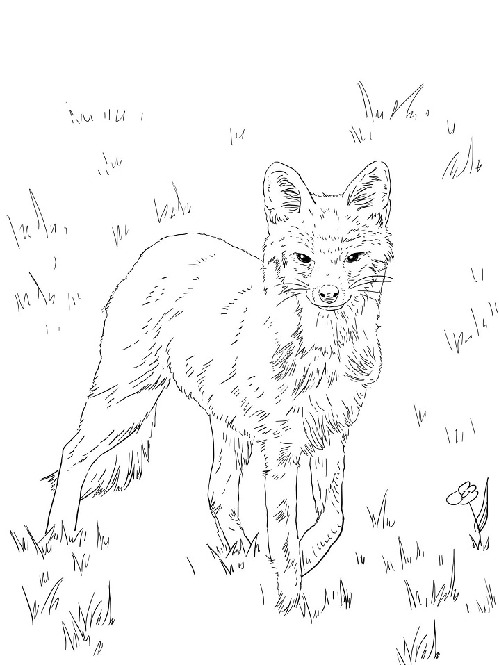 North American Grey Fox